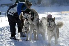 Divers chiens de traîneaux
